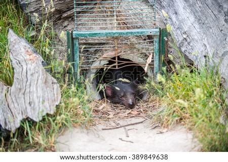 Tasmanian devil in his cave  - stock photo