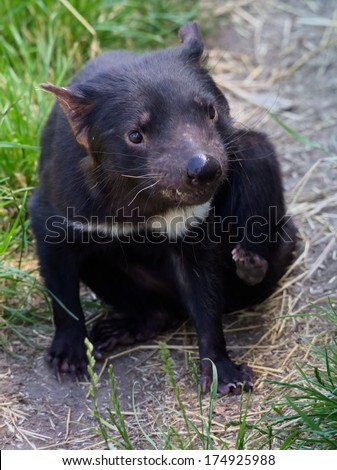 tasmanian devil in tasmania australia - stock photo
