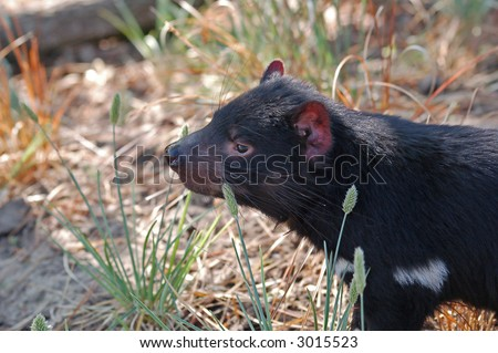 Tasmanian devil in the Zoo of copenhagen - stock photo
