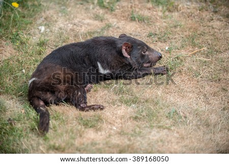 Tasmanian devil laying on the dry grass - stock photo
