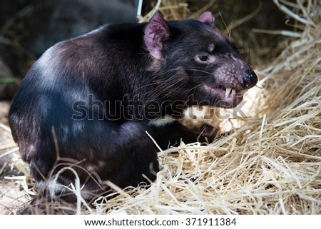 Tasmanian devil letting out a long snarl - stock photo