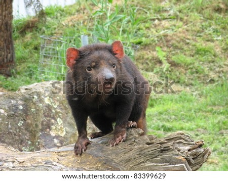 Tasmanian Devil Sarcophilus harrisii - stock photo