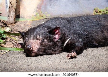 Tasmanian Devil (Sarcophilus harrisii) fast asleep with head down on a concrete path in the sunlight - stock photo