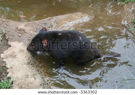 Tasmanian Devil (Sarcophilus harrisii) in Water - stock photo