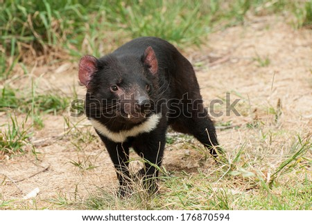 Tasmanian Devil (Sarcophilus harrisii) is an endemic Australian endangered carnivorous marsupial - stock photo
