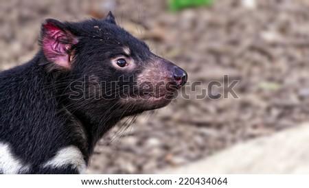 Tasmanian devil (Sarcophilus harrisii) portrait - stock photo