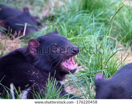 Tasmanian devil showing an aggressive pose with teeth - stock photo