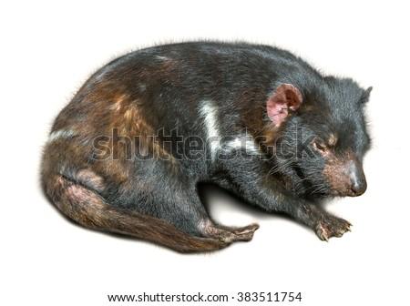 Tasmanian devil sleeping, isolated on white background. - stock photo