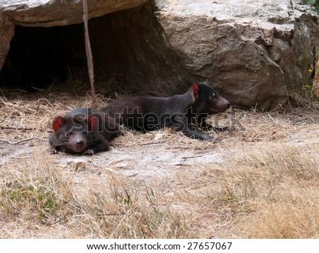 tasmanian devils - stock photo