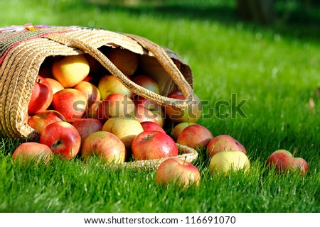 Tasty, ripe apples scattered on the grass. Apples in the basket - stock photo