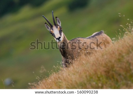 Tatra chamois (rupicapra rupicapra tatrica) in mountains with blurred background, wild mamal, nature, photography - stock photo