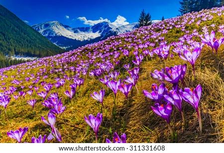 Tatra Mountains, crocuses in the Chocholowska Valley - stock photo
