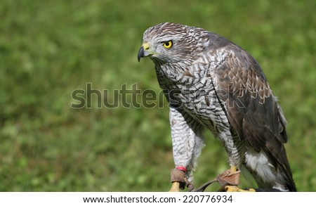 taught Peregrine Falcon perched on a trestle during a demonstration of birds of prey - stock photo