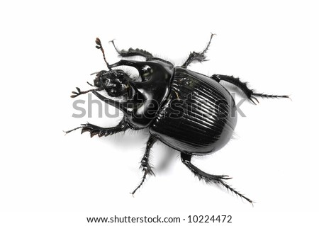 Taurus beetle isolated on white background - stock photo