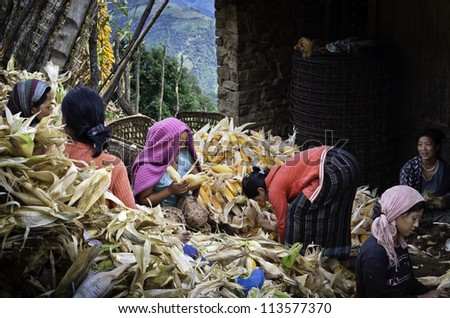 TAWANG - SEPTEMBER 17: unidentified Monpa tribal women harvesting maize in a traditional cooperative on September 17, 2011 at a small village near Tawang, western Arunachal Pradesh, India.