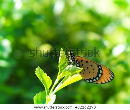 Tawny Coster on Leaf