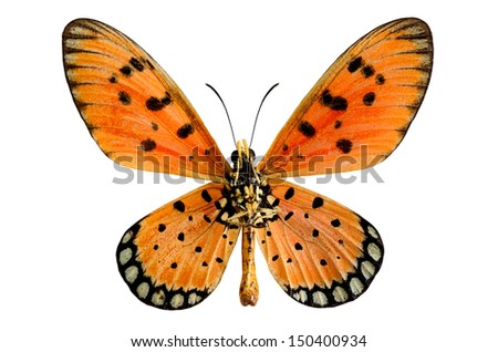 Tawny coster or Acraea violae butterfly in natural color isolated on white background - stock photo