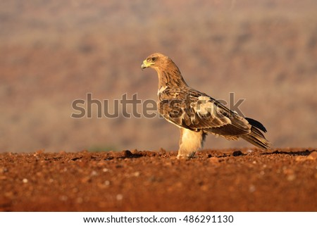 Tawny eagle, Aquila rapax, single bird on ground,  South Africa, August 2016