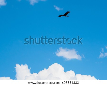 Tawny eagle bird spreading wing flying silhouette in the blue sky with white cloud