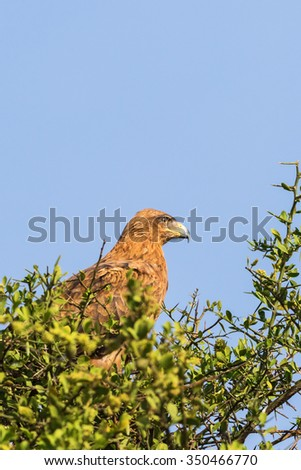 Tawny Eagle in a tree - stock photo