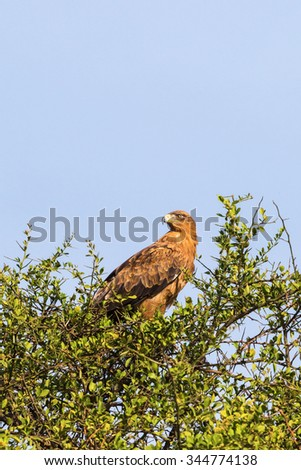 Tawny eagle in a treetop against blue sky - stock photo