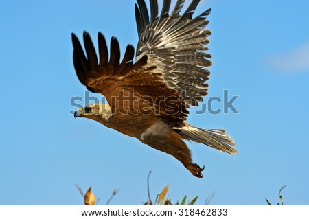 Tawny Eagle in the red shroud Tsavo