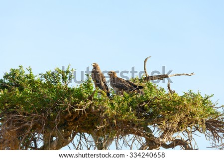 Tawny Eagle nesting on a tree, Masai Mara - stock photo