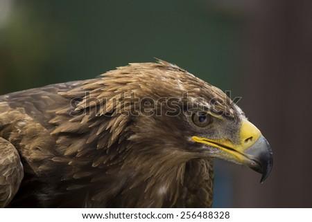Tawny Eagle Owl Closeup - stock photo