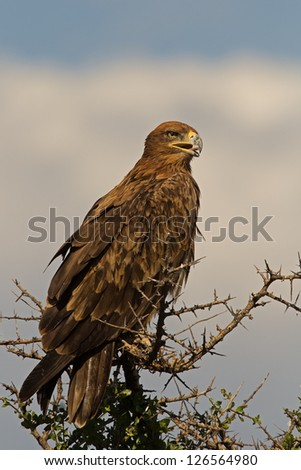 Tawny eagle perched on top of tree;; Aquila rapax - stock photo