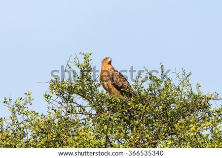 Tawny eagle sitting in a treetop and scouts - stock photo