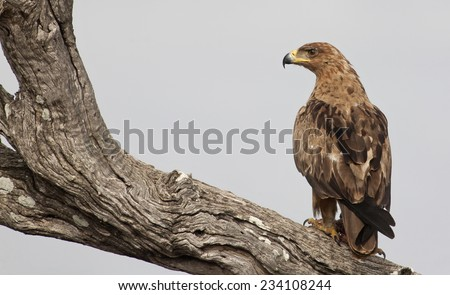 Tawny Eagle sitting on a tree branch after eating - stock photo