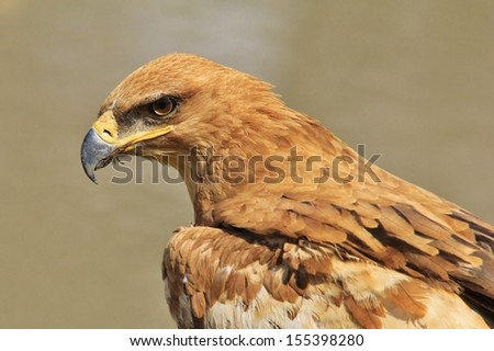 Tawny Eagle - Wild Bird Background from Africa - Anger management through the cold eye stare - stock photo