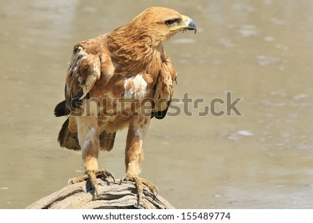 Tawny Eagle - Wild Bird Background from Africa - Pose of the proud on an old tree log, overlooking a quiet and pristine watering hole. - stock photo