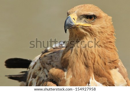Tawny Eagle - Wild Bird Background from Africa - Stare of the Golden super predator of the skies - stock photo