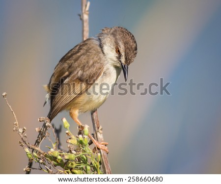 Tawny Flanked Prinia - stock photo