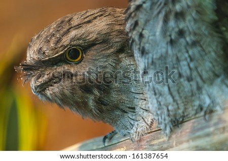 Tawny Frogmouth also known as Mopoke or Morepork