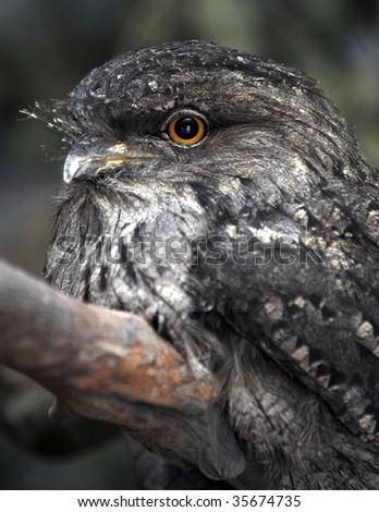tawny frogmouth close up - stock photo