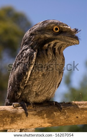 Tawny frogmouth sitting on log - stock photo