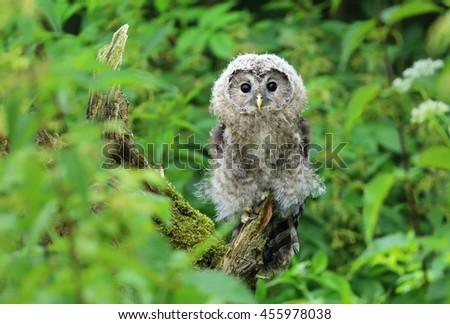 Tawny owl in bush - stock photo