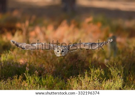 tawny owl is flying in forest - stock photo
