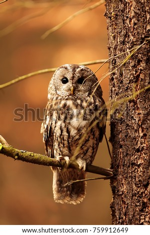 stock-photo-tawny-owl-is-sitting-on-the-