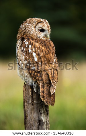 Tawny owl on fence post against a dark background of blurred trees/Tawny Owl/Tawny Owl - stock photo