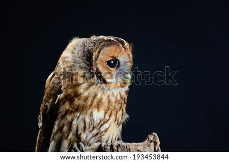 Tawny Owl, or Brown Owl (Strix aluco). Low key studio shot on black background taken with flash. Owl is looking right. - stock photo