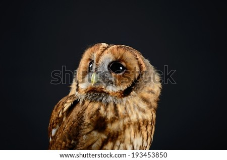 Tawny Owl, or Brown Owl (Strix aluco). Low key studio shot on black background taken with flash. Owl is looking up to the left. - stock photo