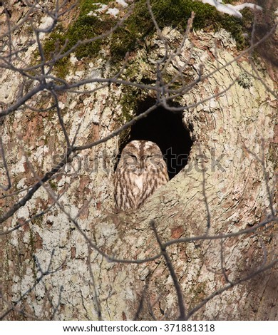 Tawny owl or brown owl (Strix aluco). Sitting in their nest holes and rests on a winter day in January