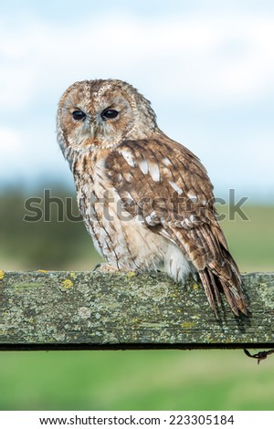 Tawny Owl perched on fence in farmland/Tawny Owl/Tawny Owl (strix aluco) - stock photo