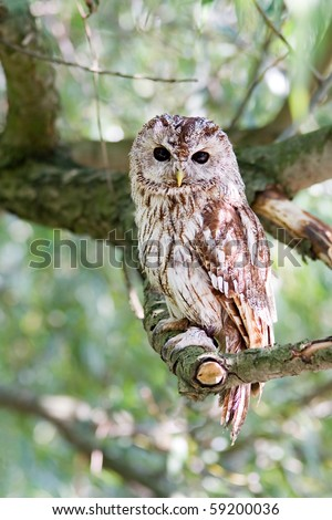 tawny owl sitting on willow branch - stock photo