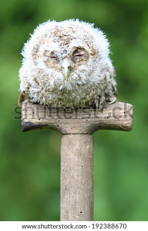 Tawny Owl (Strix aluco) Chick or Owlet sleeping on a garden spade handle. Taken in Scotland, UK.  - stock photo