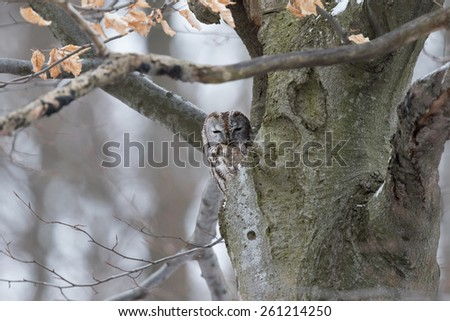Tawny Owl (Strix aluco) on its hole - stock photo