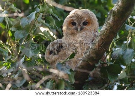 Tawny owl youngster - stock photo
